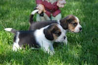 beagle de vanzare