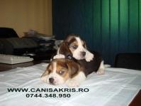 beagle super frumosi