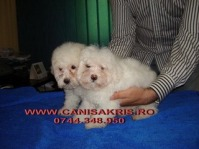 bichon bolognese si frisee