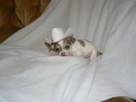 Chihuahua de vanzare .