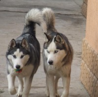 Pierdut caini husky