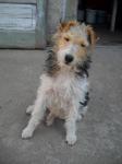 Pierdut fox terrier Timisoara