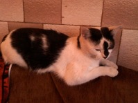 Pierdut pisica in Buzau