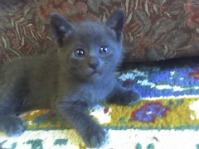 Pisici Albastru de Rusia
