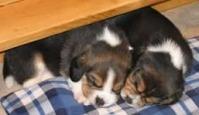 Pui de Beagle