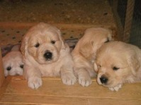 Pui de Golden Retriever