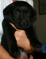 Pui de Labrador Retriever negri