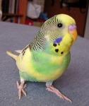 Vand papagali perusi superbi  si la engross