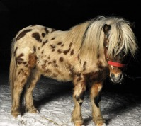 Vand ponei rasa Shetland si Appaloosa